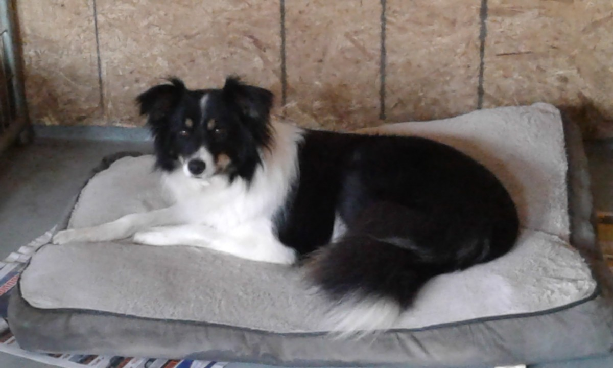 Annie, one of our beautiful Border Collie girls.