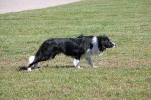 Goose Dog in Ontario
