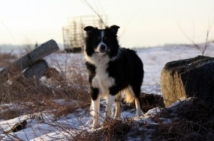 Cobourg Dogs For Sale