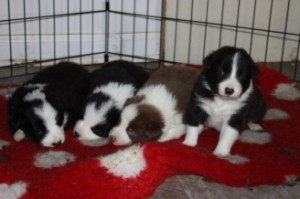 Working Class Border Collie Puppies