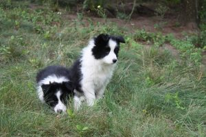 Border Collies For Sale in Ontario
