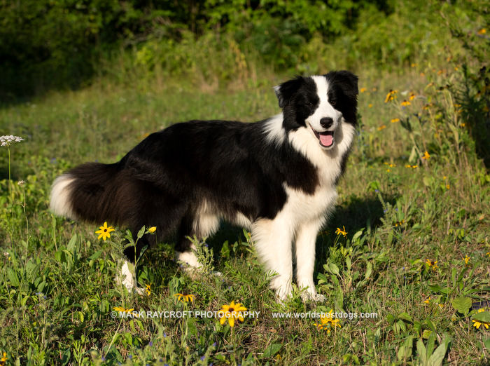 Chance, one of our handsome Border Collie boys.