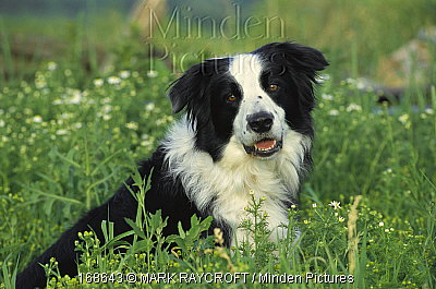 Border Collie Breeder Ontario